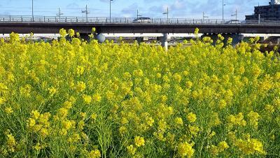 武庫川河川敷の黄色い絨毯 中巻。