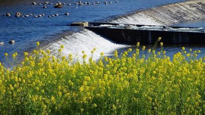 武庫川河川敷の黄色い絨毯 下巻。