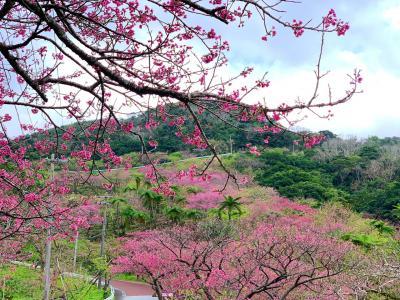 2020年初旅は、沖縄でお花見②~八重岳山頂までお花見ドライブ~