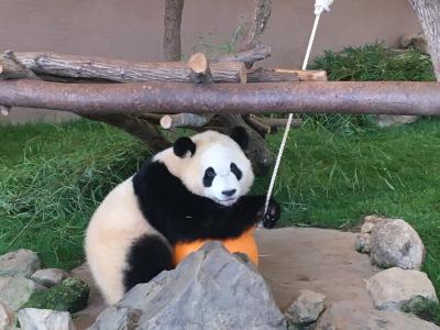 2020パンダ鑑賞記録☆2月は日本列島横断パンダの旅☆南紀白浜アドベンチャーワールド2