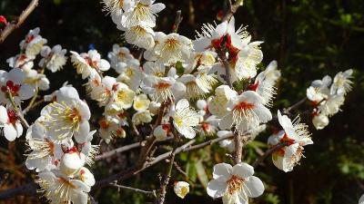 節分の日に咲き始めていた、中山寺梅林へ開花状況を確認しに行きました その2。
