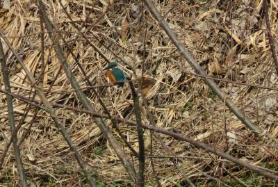 2020新春、天白川河畔の散策(3/3):2月3日(3):天白川、コサギ、カワセミ、ホオジロ、雀、水仙