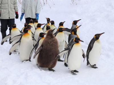 AIRDOスカイメイトで行く日帰り旭山動物園&さっぽろ雪まつり