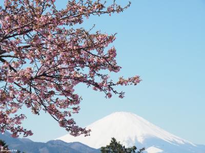 富士山と一緒にお花見@松田山の河津桜