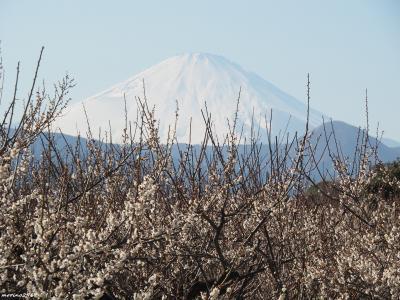 富士山と一緒にお花見と流鏑馬@曽我梅林
