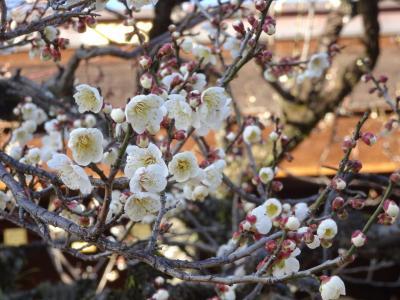 2月の京都 北野天満宮の早咲き梅