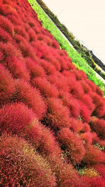 茨城満喫旅♪ ひたち海浜公園で真っ赤なコキアと袋田の滝をめぐる旅