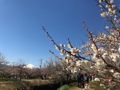 神奈川・曽我梅林の梅と梅酒のお祭り2020