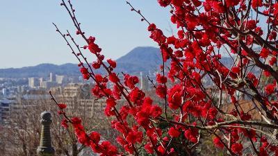 節分の日に咲き始めていた、中山寺梅林へ開花状況を確認しに行きました その4。