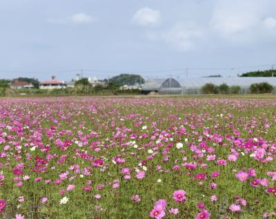 2020年初旅は、沖縄でお花見③~冬のコスモス~