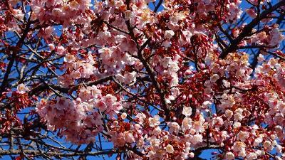 節分の日に咲き始めていた、中山寺梅林へ開花状況を確認しに行きました その6完。