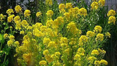 散髪の後、瑞原地区の花を観ながら帰りました その4完。