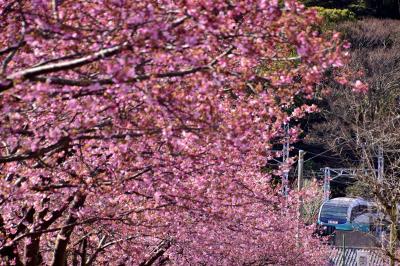 ありがとうスーパービュー踊り子号、引退間近な251系と伊豆の河津桜を見に訪れてみた(河津桜並木編)