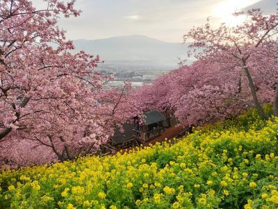 まつだ桜まつり~河津桜は八分咲き