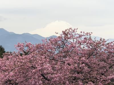 富士山と河津桜のシャッターチャンスは難しく