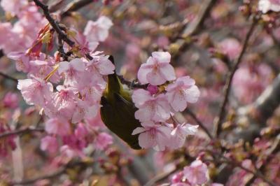 河津桜と兜梅と牛深魚市場感謝祭@消えゆくマイル消化の旅【4】