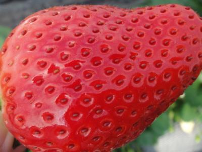 高級品種「スカイベリー」イチゴ狩り食べ放題・約500万球の煌めき足利フラワーパークイルミネーション