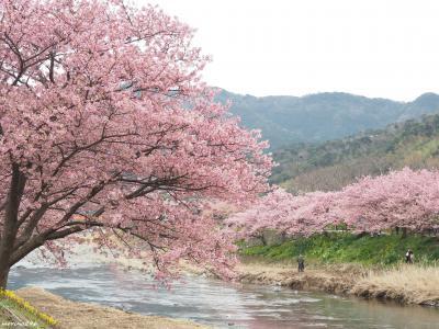 一足早い春便り♪約8千本の桜が満開@河津桜まつり(1日目)