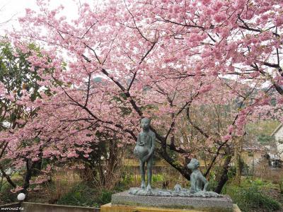 一足早い春便り♪約8千本の桜が満開@河津桜まつり(2日目)