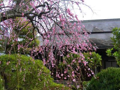 梅とひなまつりの中山法華経寺を散策