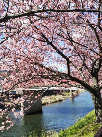 母を連れて伊豆赤沢温泉へ 南伊豆の河津桜は本家よりきれいかも?