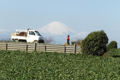 三浦の大根畑と富士山