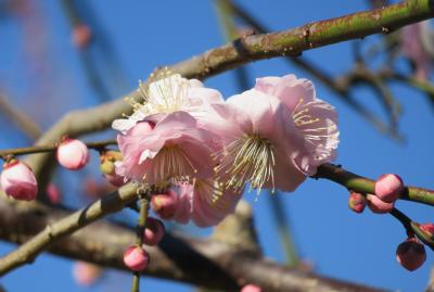 2020新春、ちらほら咲いた枝垂れ梅(2/5):1月31日(2):名古屋市農業センター(2):枝垂れ梅、ソシンロウバイ