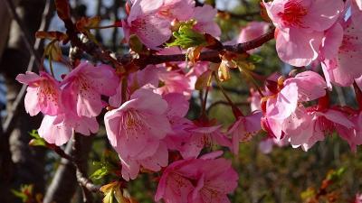 伊丹市緑ヶ丘公園へ河津桜を観に行きました 中巻。