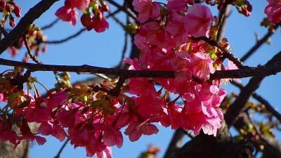伊丹市緑ヶ丘公園へ河津桜を観に行きました 下巻。