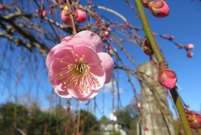 2020新春、ちらほら咲いた枝垂れ梅(3/5):1月31日(3):名古屋市農業センター(3):枝垂れ梅、ソシンロウバイ