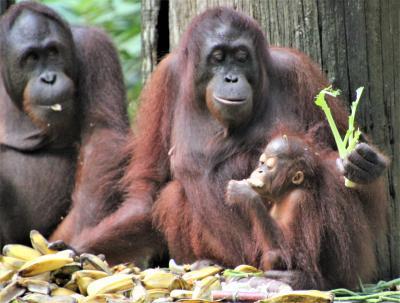 ボルネオ島のジャングルを訪ねる旅②セピロックのオランウータンとマレー熊の保護区へ