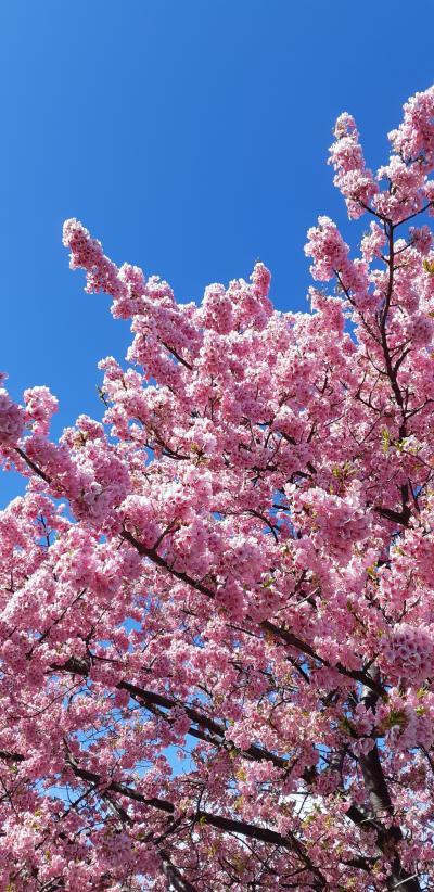 満開ですー焼津、朝比奈川沿いの河津桜