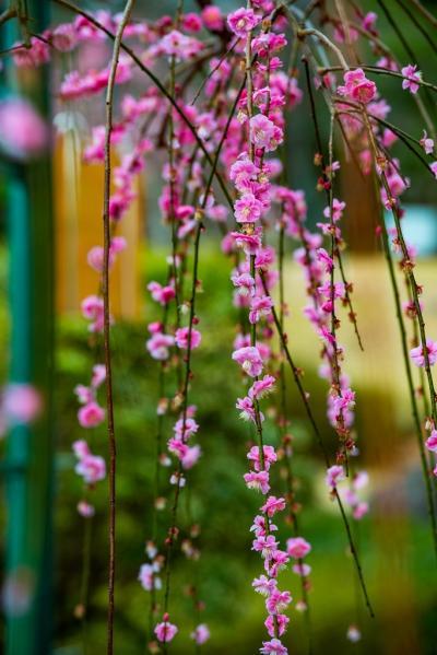 南立石公園の梅と桜 2020