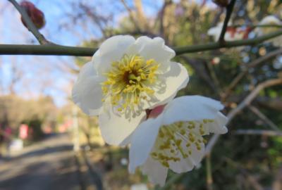2020新春、ちらほら咲いた枝垂れ梅(5/5):1月31日(5):針名神社(2):拝殿、社務所、手水舎、秋葉山、梅の花