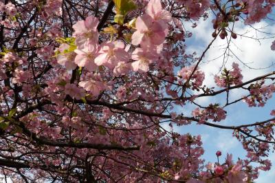 横浜でも河津桜が満開-2020年