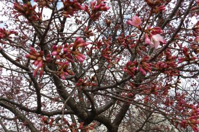 柏尾川のおかめ桜が開花しました-2020年