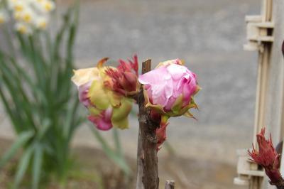冬に花芽を付けた牡丹が全て開花の運びです