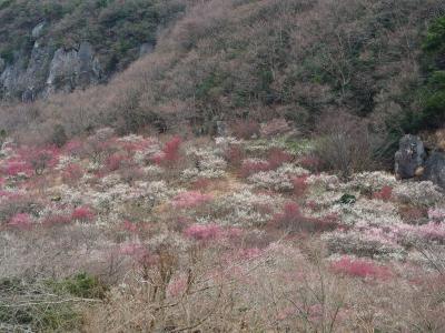 湯河原梅林 梅の絨毯 七分咲 一面の白・ピンク・紅色に染まって