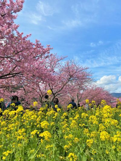 ゆっくり回れた2020年の河津桜