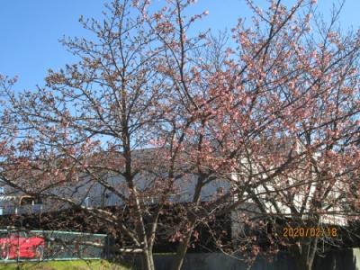 柏市の大堀川下流部・リバーサイドパーク・2020年2月・河津桜