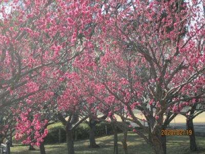 柏の葉公園・2020年2月・梅満開・河津桜2分咲