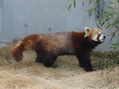 周南市徳山動物園 風花ちゃんとリボンちゃん、2匹の13歳パンダが作り出す優しい空間がとても素敵な徳山ズー