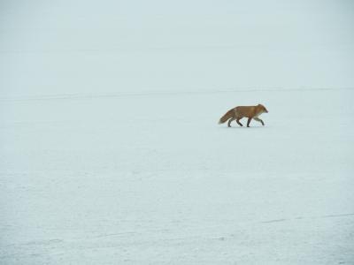 冬の北海道 さいはて野鳥紀行 風連湖の野鳥と野付半島