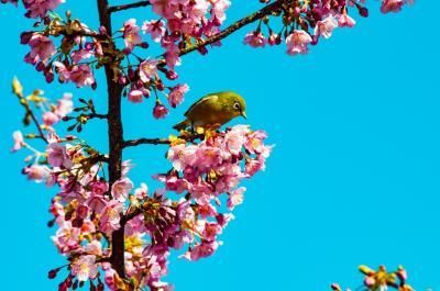 豊前の河津桜再訪 2020