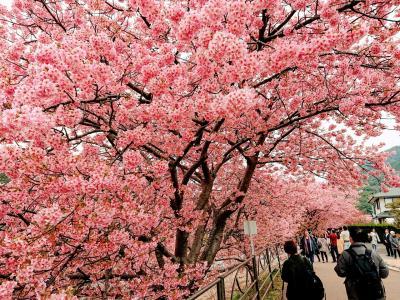 1泊2日 湯河原、河津の旅。2日目は河津桜祭り