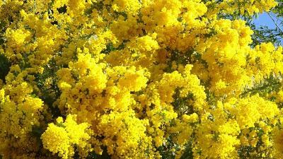 豊中市少路の羽鷹池近くに咲く、ミモザの花を見に行きました 上巻。