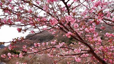 2020年2月 湯河原旅行♪梅の宴でほっこりお花見♪のんびり温泉♪
