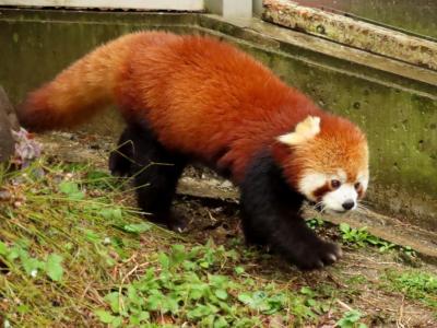とべ動物園 急に思い立っての四国遠征は愛媛・砥部から 激しい雨と言うこともあり砥々丸君とコウメちゃんのラブラブ姿は見れませんでした