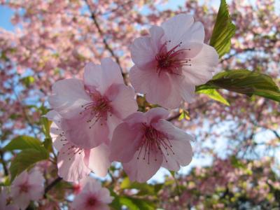 新宿御苑 梅も寒桜も終盤戦です