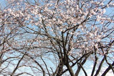 品濃桜が開花しました-2020年
